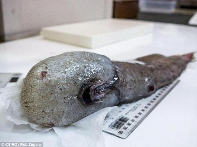 Cá không mặt được các nhà khoa học tìm thấy trong đợt nghiên cứu lần này.