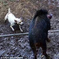 Những cuộc tử chiến đẫm máu giữa chó và lợn rừng ở Indonesia