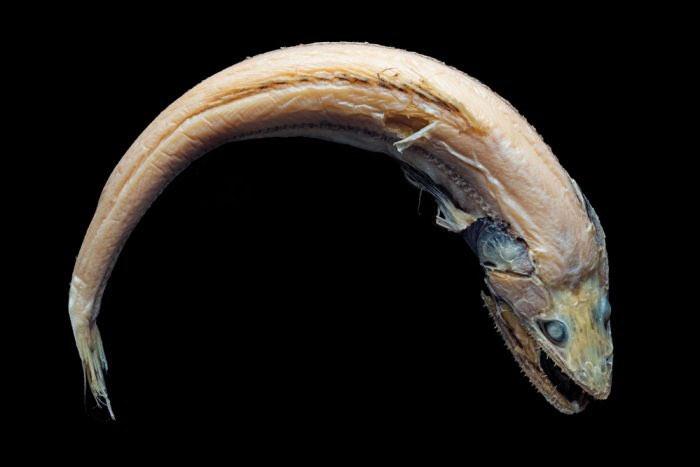 Một mẫu vật cá sinh sống dưới biển sâu có hình thù kỳ dị.