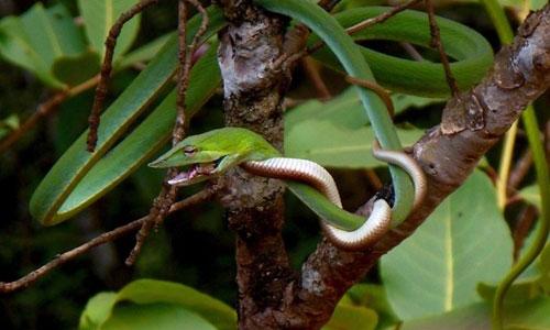 Cặp rắn quấn chặt lấy nhau trên cành cây.