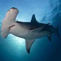 """Chiếc """"búa"""" của cá mập đầu búa để làm gì?"""