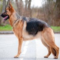 Lý giải tại sao chó Béc-giê thường được đào tạo thành cảnh khuyển