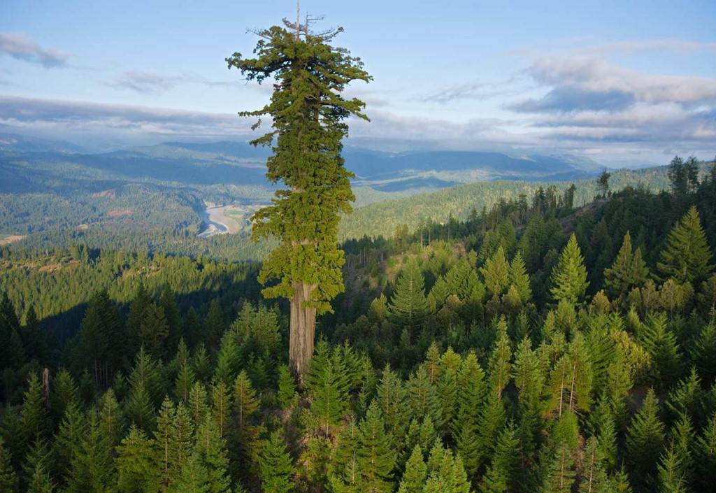 Trong đó, Hyperion là cây cao nhất thế giới, đạt 115,7m.