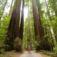 Những cây gỗ đỏ cổ xưa cao nhất thế giới