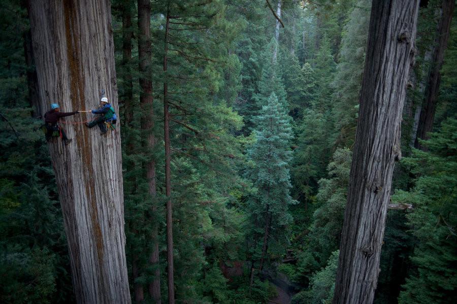 Tuy nhiên, sau hơn 100 năm khai thác, diện tích rừng cổ xưa này chỉ còn lại chưa đến 5% so với ban đầu.