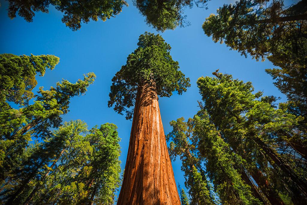 Những cây khổng lồ này đang phải đối mặt với nhiều mối nguy, từ đô thị hóa, ô nhiễm môi trường