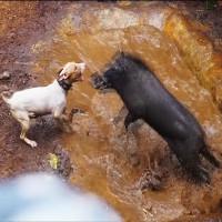 Video: Sốc cảnh đấu trường chó pitbull tử chiến lợn rừng đẫm máu