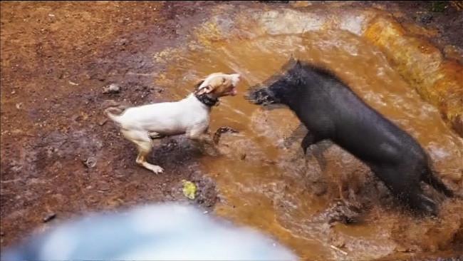 Video: Sốc cảnh đấu trường chó pitbull tử chiến lợn rừng đẫm