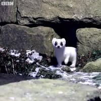 Video: Loài chồn đổi màu trắng như tuyết vào mùa đông