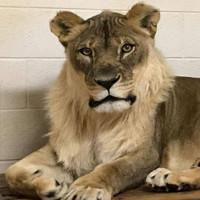 Kỳ lạ sư tử cái 18 tuổi mọc bờm như con đực