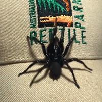 Cá thể khổng lồ thuộc loài nhện độc nhất thế giới