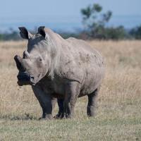 """Tê giác trắng đực duy nhất trên Trái Đất """"lên mạng"""" tìm bạn tình"""