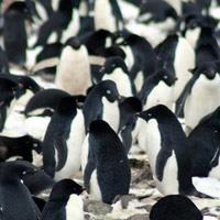 """Bất ngờ phát hiện """"siêu quần thể"""" hơn 1,5 triệu con chim cánh cụt chưa từng biết ở Nam Cực"""
