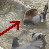 """Video: Cá trê khổng lồ """"làm thịt"""" bầy bồ câu"""