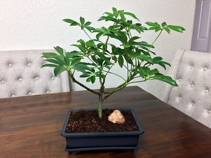 Cây nên trồng trong nhà: Cây ngũ gia bì
