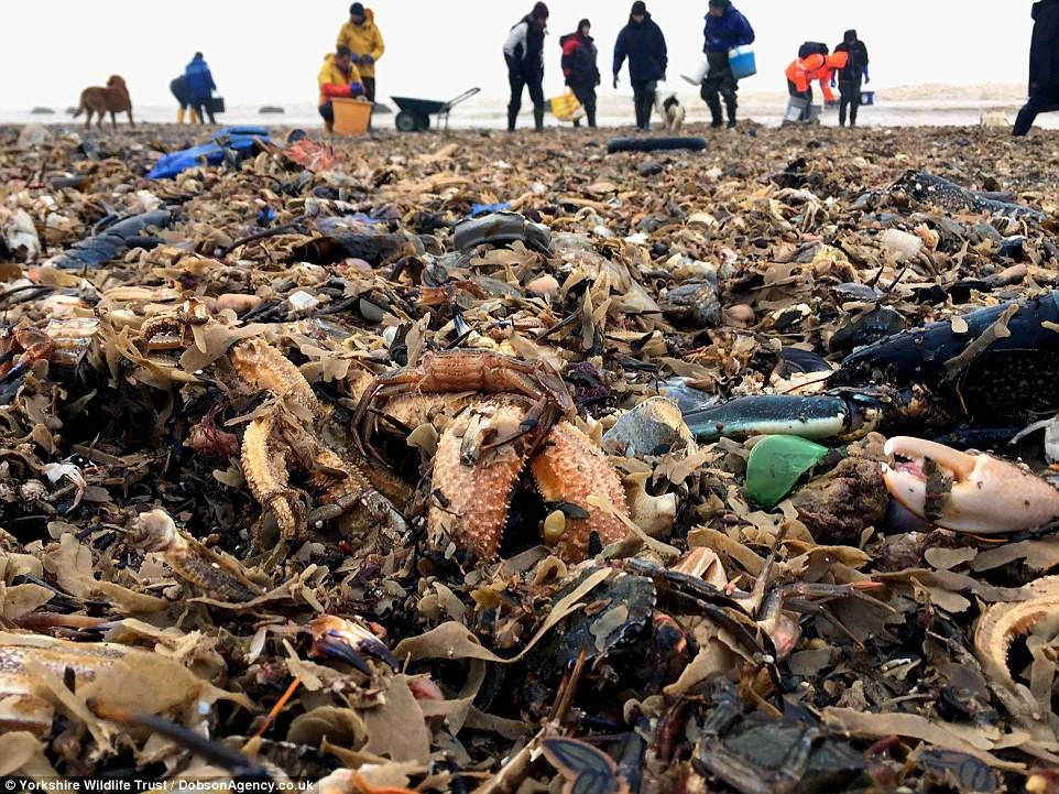 Người dân đang dọn dẹp bãi biển đầy sinh vật chết.