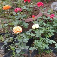 Trồng hoa hồng từ 1 cành hoa - cách đơn giản để có một chậu hồng thơm ngát
