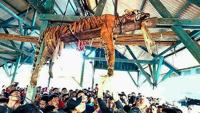 Con hổ Sumatra trả giá đắt khi mò vào làng.