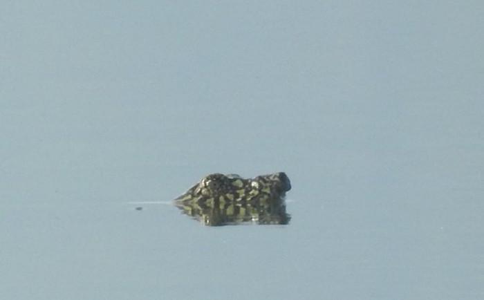 Rùa mai mềm ở Đồng Mô