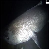 Hình ảnh hiếm về loài cá mập sống thọ 5 thế kỷ