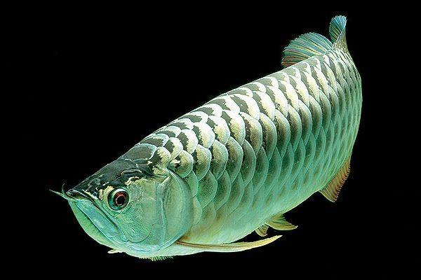 Cá rồng Plantium