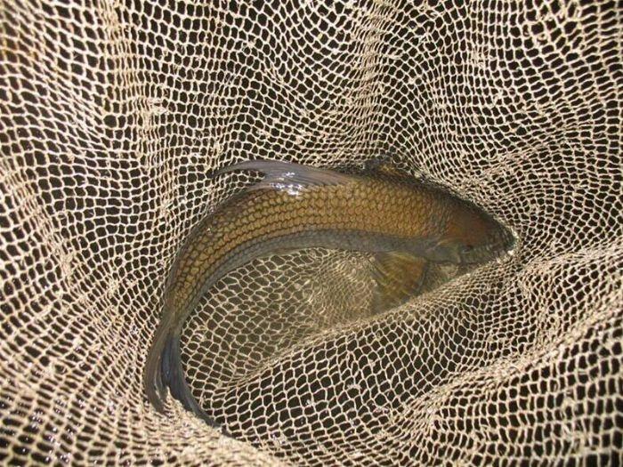 Cá rầm xanh