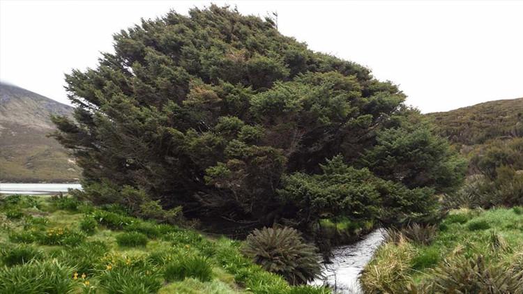 Cây vân sam Sitka trên đảo Campbell.