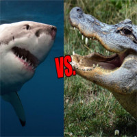 Cá sấu vs cá mập: bạn nghĩ loài nào sẽ thắng?