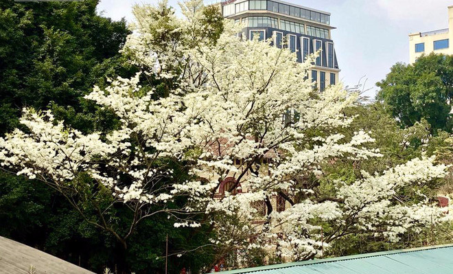 Hoa sưa nở rộ trắng xóa nổi bật xen lẫn màu xanh non của lá cây.