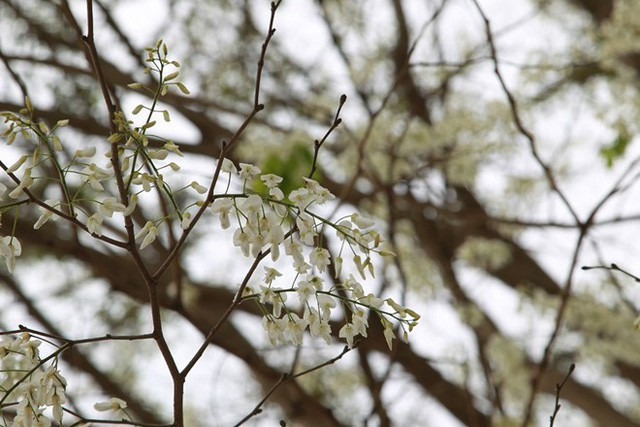 Sắc hoa nở trắng
