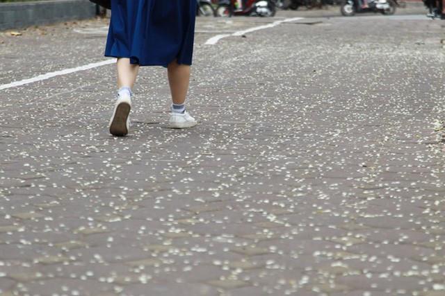 Hoa sưa rơi đầy trên đường
