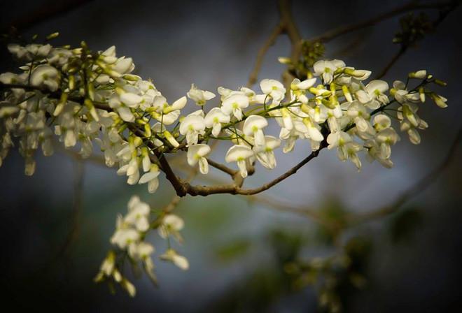 Khoảnh khắc hoa sưa đầu mùa.