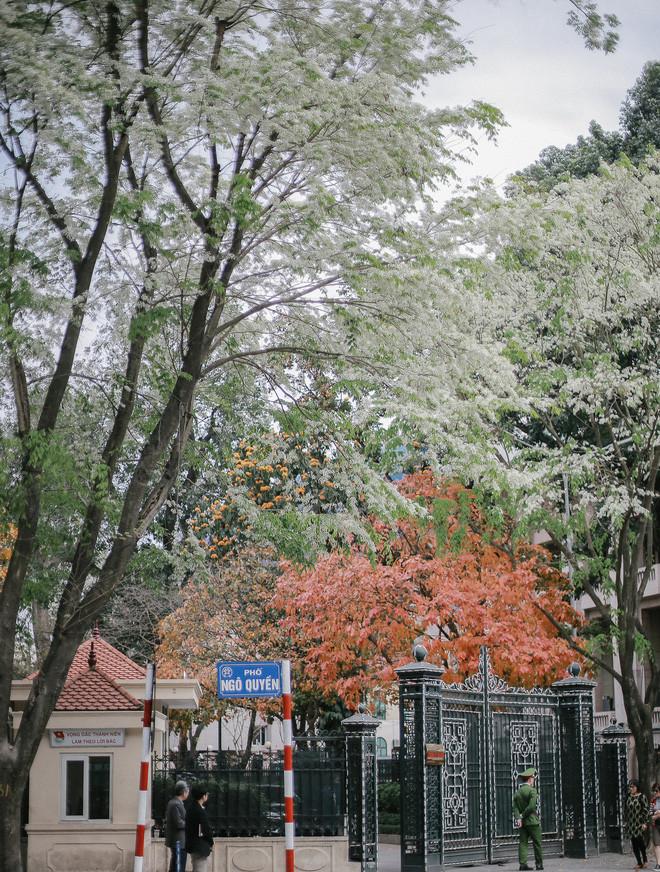 Hoa sưa nở trắng xóa trên một góc phố Ngô Quyền.