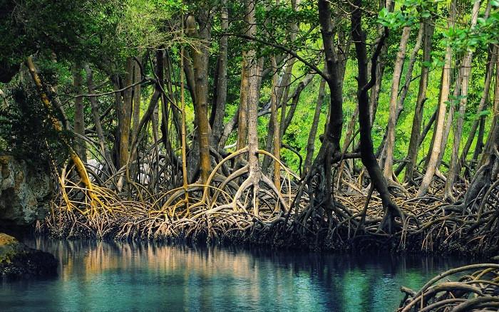 Rừng đước không những bảo vệ bờ biển khỏi bị ăn lấn vào trong đất liền, mà còn mở rộng bờ biển.