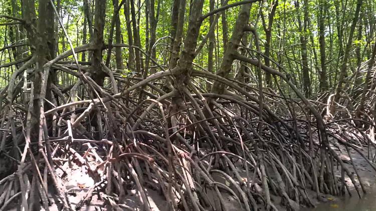 Rễ đước chịu được mặn và hút được dinh dưỡng từ trong nước biển.