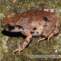 Phát hiện loài ếch mới ở bán đảo Sơn Trà
