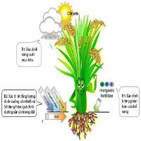 """Tính toán nhu cầu phân bón của cây lúa bằng kỹ thuật """"ô khuyết"""""""