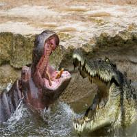 Cá sấu đại chiến hà mã: ai mới là bá chủ của những khúc sông châu Phi?
