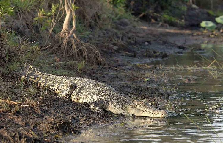 Mối nguy hiểm đáng sợ nhất trên đảo Ramree là cá sấu nước mặn.