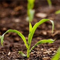 Phương pháp biến đổi gene mới giúp cây trồng mất nước ít hơn 25%