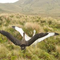 New Zealand tuyên bố đảo di sản Antipodes sạch bóng chuột