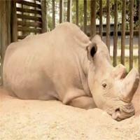 Cái chết của tê giác trắng Sudan và lời cảnh báo đến toàn nhân loại