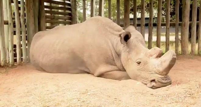 Sudan - chú tê giác trắng Bắc Phi cuối cùng đã qua đời.