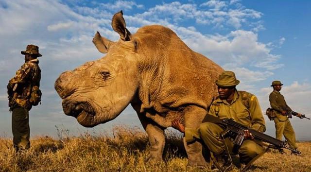 Đến thời điểm này, có thể nói tê giác trắng đang thực sự phải đối mặt với số phận bị tuyệt chủng.