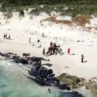 Gần 150 con cá voi chết trên bờ biển Australia