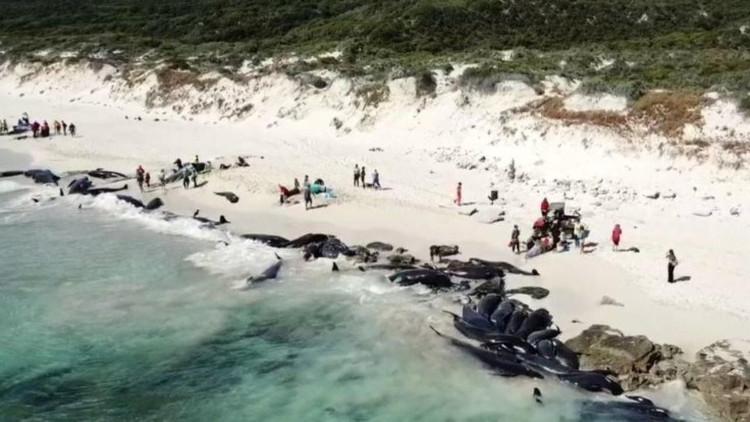 Lúc chập tối, gần 150 con cá voi mắc cạn đã chết
