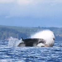 Cá voi sát thủ khổng lồ và cú ngoạm kinh hoàng nhằm vào sư tử biển