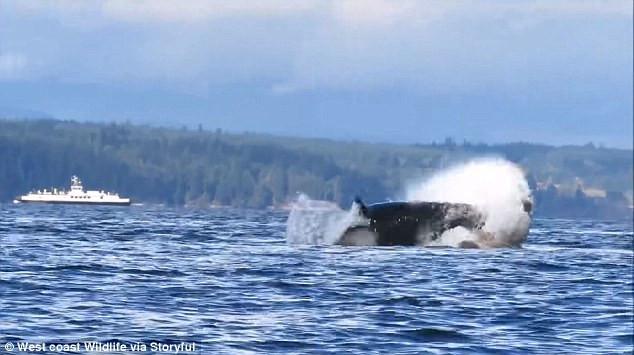 Đàn cá voi sát thủ săn sư tử biển ngay trên mặt nước.