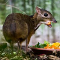 Kỳ lạ loài hươu chỉ bé bằng chuột hamster