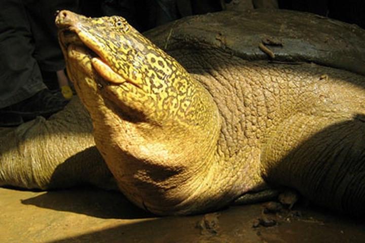 Rùa Hồ Gươm (Rafetus swinhoei)